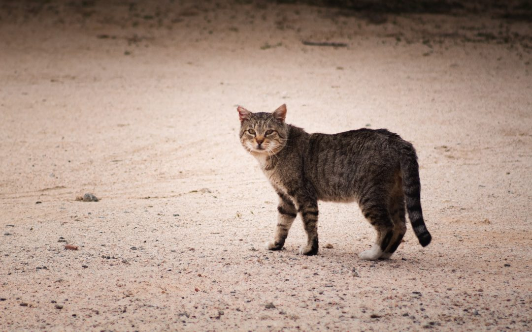 Sterilizing Feral and Free-Roaming Cats in Chiang Mai